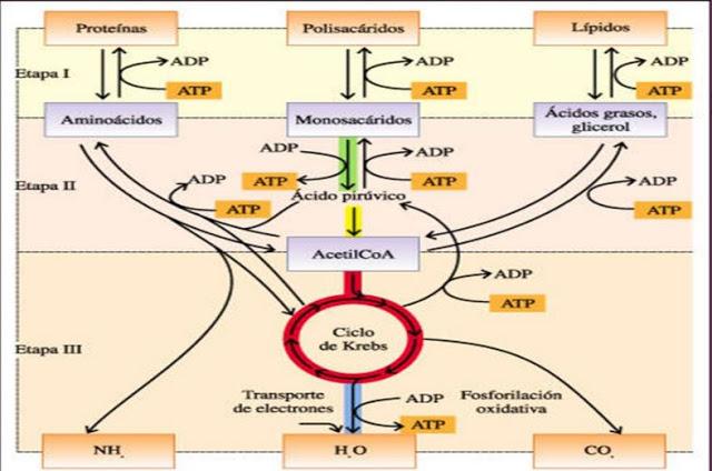 Metabolismo intermediario mapa conceptual
